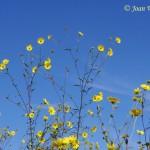 walsh_fleurs_jaunes-150x150